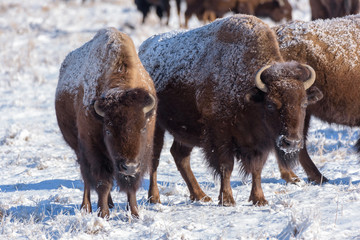 American Bison on the High Plains of Colorado