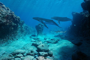 Underwater seascape, rocky seabed with whales and a shark, Pacific ocean, French Polynesia