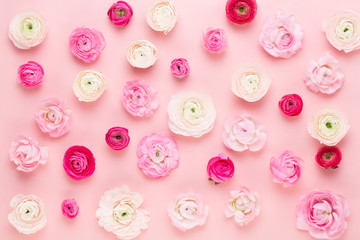 Beautiful colored ranunculus flowers on a pink  background. Spring greeting card.
