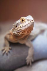 Bearded Dragon on Rock
