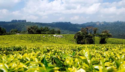 Obraz Tea plantation in Mufindi, tanzania, Africa. - fototapety do salonu