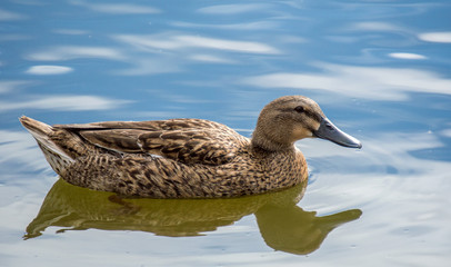 a female mallard duck with brown mottled feathers swimming in calm blue water with reflection