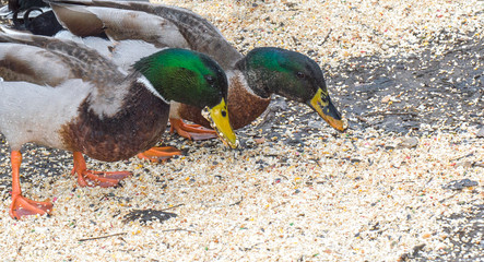 two plump mallard ducks eating bird seed on the ground with copy space
