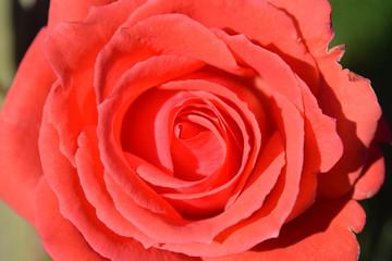 closeup of red rose in full bloom
