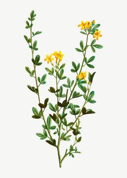 Yellow Jasmine flowers