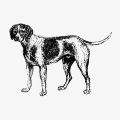 Domesticated hunting dog