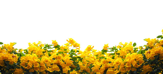 Wall Mural - Yellow elder or Trumpetbush flowers
