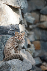 Leopard bengal cat. Prionailurus Felis bengalensis euptilura - wild animal live in tropical rain forest, South East Asia. Small tiger mammal. Cute little kitten is sitting on the stones
