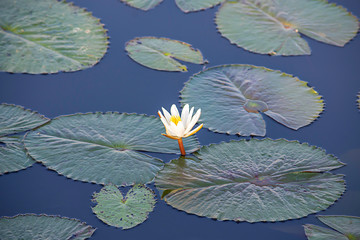 The beauty of the White Lotus Bloom in ponds
