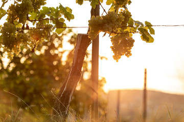 Bunches of white wine grapes on vine