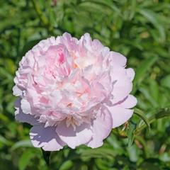 Rosa Pfingstrose, Paeonia