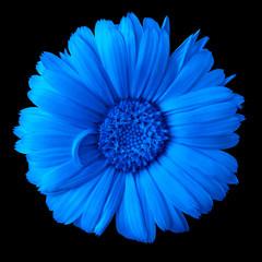 flower blue calendula  isolated on a black  background. Close-up. Nature.