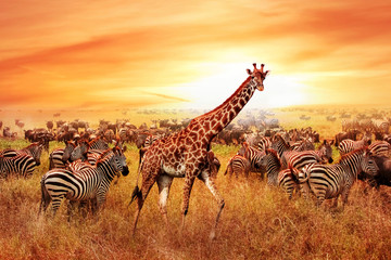 Poster de jardin Zebra Wild African zebras and giraffe in the African savannah. Serengeti National Park. Wildlife of Tanzania. Artistic image.