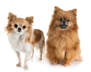 puppy pomeranian and chihuahua