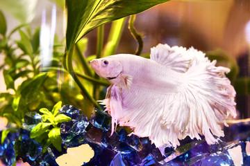 Betta in Aquarium