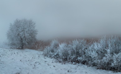 Trees in the fog on the field. Winter landscape of fields with trees. Trees in hoarfrost, hoarfrost in fog. Background.