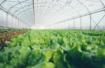 Vegetables growing in big greenhouse