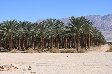 Date Plantation palms