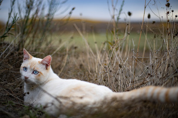 Beautiful White Wild Cat with blue eyes Lying in grass ground