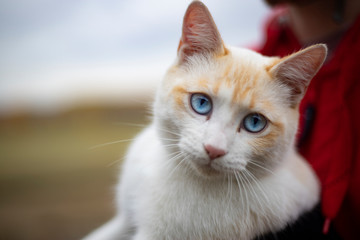 Beautiful White Wild Cat with blue eyes. Pet Happiness