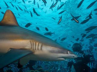 Grey Reef Shark close to human