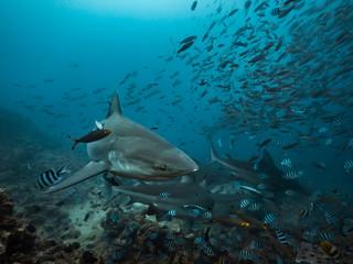 Many Big sharks underwater in blue ocean background