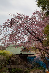Cherry blossom in Japan. Sakura flowers and trees close up in Tokyo, Japan during Spring time