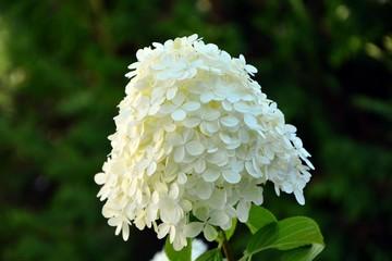 Fond de hotte en verre imprimé Hortensia Delicate aerial inflorescence of white hydrangea in summer in the garden close-up.