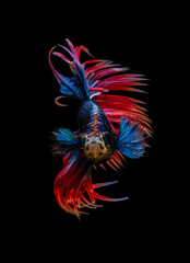 Style of Red-Blue Siamese fighting fish isolated on black background.
