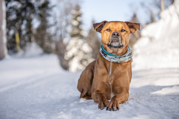 staffordshire terrier dog in the winter snow in quebec canada