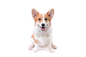 pembroke welsh corgi puppy dog Wall mural