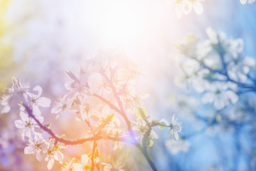 White cherry blossoms in spring sun with sky background