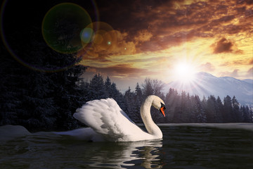 swan in a lake on summer