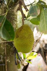 Many Jack fruits on tree,Bunch of jack fruits on a tree