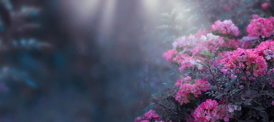 Wall Mural - Fantasy mysterious spring floral banner with blooming pink rose flowers on blurred blue background and sun rays