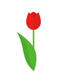 Red tulip flower.