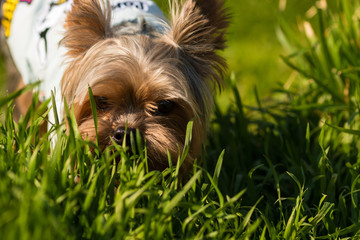 Yorkshire Terrier in a jacket is standing in a green grass