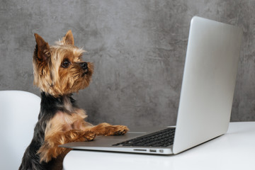 Dog at computer laptop yorkshire terrier