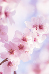 Cherry blossom with beautiful flower bud and young booming flowers