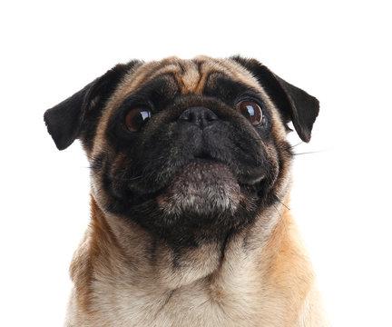 Happy cute pug dog isolated on white