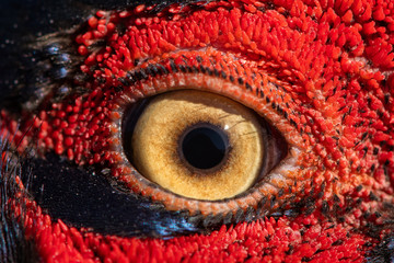 Pheasant eye close-up, macro photo, eye of the Ringnecked pheasant male, Phasianus colchicus