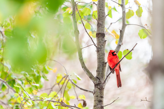 Red northern cardinal bird, Cardinalis, perched on tree branch with autumn or spring green yellow leaves on cherry plant with vivid vibrant colors