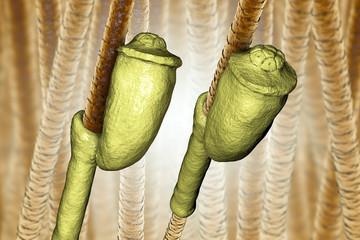 Human head louse nit on hair, Pediculus humanus capitis, 3D illustration