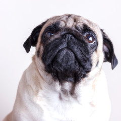 Dog pug close-up with sad brown eyes. Portrait on white background