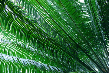 Cycas rumphii, commonly known as queen sago or the queen sago palm in Colombia, South America.