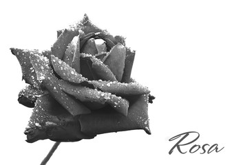 Rose covered in droplets after rain. Black and white photo