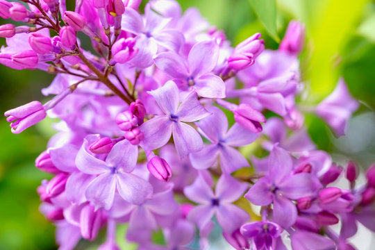 Blooming purple lilac flowers background