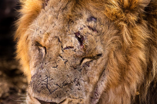 Wounded African lion. Close-up of face.