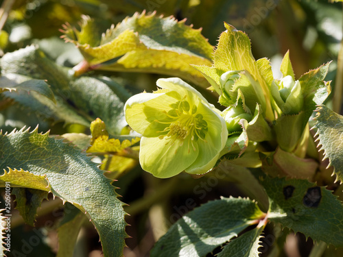 Gros Plan Sur Une Fleur Verte Pale D Hellebore De Corse Helleborus