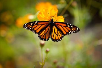 Beautiful Monarch Butterfly on a Flower